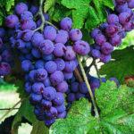 grape-vine-2