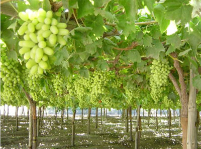 Grape container pacific injection molding ltd - Difference between wine grapes and table grapes ...